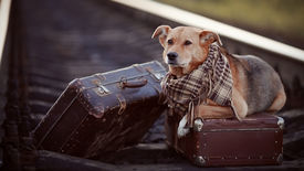 picture of dog-house  - Dog on rails with suitcases - JPG