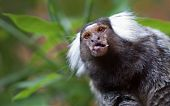 picture of marmosets  - Common Marmoset peeking out from the leaves - JPG