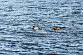 stock photo of duck pond  - two ducks swimming on a pond near a beautiful fall sunset - JPG