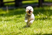 pic of irresistible  - cute small bichon running in the park notice shallow depth of field - JPG