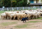 picture of sheep-dog  - Sheep dog run herding sheeps in the farm