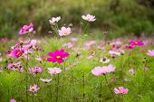 image of cosmos  - A garden full of pink and purple cosmos flowers shallow DOF - JPG