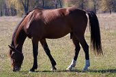 picture of stallion  - Beautiful stallion grazes peacefully in the countryside - JPG