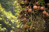 picture of royal botanic gardens  - Couroupita guianensis known as cannonball tree in Royal botanic gardens - JPG