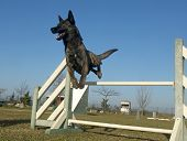 picture of shepherd dog  - jumping Dutch Shepherd Dog in a training of agility - JPG