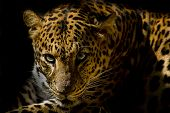 stock photo of leopard  - Leopard portrait animal wildlife on black background - JPG