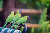 pic of lorikeets  - Three rainbow lorikeets sitting on an outdoor chair - JPG