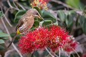 picture of fynbos  - Cape sugar bird looking for nectar in red flowers of a bottle brush