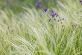 picture of feathers  - Feather Grass or Needle Grass - JPG