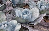 stock photo of cultivation  - Closeup of organic cultivated red cabbages in a Dutch field - JPG