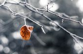 stock photo of lonely  - Lonely dry leaf on a frosted branch - JPG