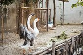 stock photo of spread wings  - The goose is spreading its wings with motion blur - JPG