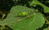 pic of cricket insect  - A Speckled Bush - JPG