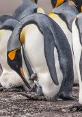 stock photo of nurture  - A King Penguin is nurturing a chick with on its feet - JPG