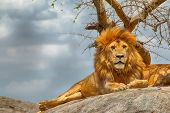 foto of african lion  - Closeup of male lion sitting on a rock facing straight with menacing clouds in the background at Serengeti National Park Tanzania - JPG