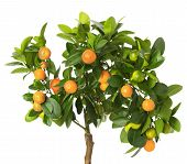 picture of tangerine-tree  - tangerine tree isolated on the white background - JPG