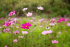 stock photo of cosmos flowers  - A garden full of pink and purple cosmos flowers shallow DOF - JPG