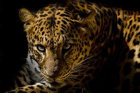 stock photo of jungle animal  - Leopard portrait animal wildlife on black background - JPG