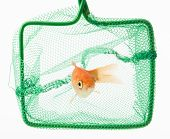 image of trap  - trapped goldfish isolated on a white background - JPG