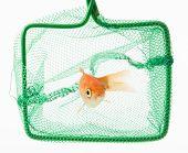 image of goldfish  - trapped goldfish isolated on a white background - JPG