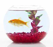 foto of fishbowl  - goldfish in fishbowl isolated on white background - JPG