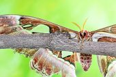 stock photo of atlas  - on a branch of a tree there is a Attacus atlas - JPG