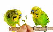 stock photo of parrots  - Budgerigar - JPG