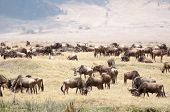 picture of saharan  - A herd of blue wildebeest graze on the drying grass inside the Ngorongoro Crater in Tanzania in the background is the rim of the crater clearly visible - JPG