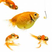 picture of catch fish  - surprised and distrustful goldfishes watching a fat Pearl Scale fish about to being catched by fishing hook - JPG
