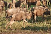 stock photo of saharan  - Wildebeest in the Ngorongoro Crater in Tanzania start running after getting a fright - JPG