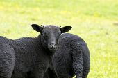picture of stare  - Young black lamb with small horns staring back at the camera - JPG