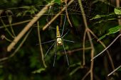 stock photo of spider web  - Close up of golden orb weaver or giant wood spider or banana spider  - JPG