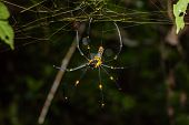 picture of spider web  - Close up of golden orb weaver or giant wood spider or banana spider  - JPG