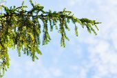 stock photo of blue spruce  - natural background with green spruce branch and blue sky in sunny summer day - JPG