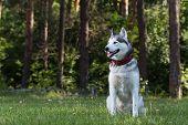 pic of husky  - Siberian Husky sits in the shade - JPG
