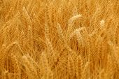 image of fall-wheat  - Wheat spikes in golden field with cereal grain - JPG