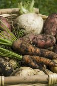 foto of turnips  - Muddy home grown red and white potatoes - JPG
