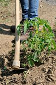 stock photo of hoe  - Manual processing of the ground with hoe in a tomatoes cultivation - JPG