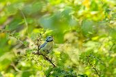 pic of tit  - Young Blue tit looking for insects in tree canopy - JPG