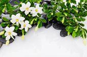 image of gardenia  - Branch gardenia with green plant on black pebbles   - JPG