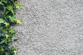 foto of ivy  - Roughly plastered gray wall with climbing ivy  - JPG