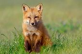 pic of tall grass  - Fox kit sits contently in tall grass - JPG
