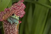 pic of pitcher  - Maroon Eyed Tree Frog sitting at the top of a red pitcher plant - JPG