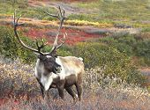 stock photo of caribou  - Male Caribou on Fall Tundra - JPG