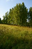 foto of birchwood  - Birchwood at grassland in sunset - JPG