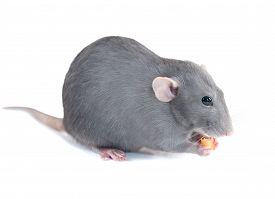 stock photo of rats  - Gray domestic rat isolated on white background - JPG