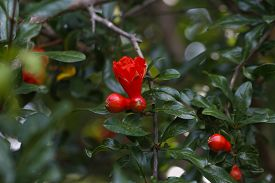 picture of pomegranate  - Pomegranate tree flowers. Garnet red flowers on a pomegranate tree. Pomegranate tree with green leafy background.