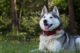picture of tongue  - Siberian Husky lies in the shade - JPG