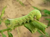 image of tomato plant  - worm eating tomato plant - JPG