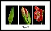 picture of triptych  - This was created over a period of weeks following the progress of an amaryllis flower from bud to full bloom - JPG
